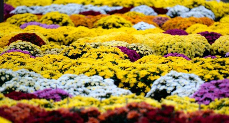 Crisantemo flores para difuntos en mercado de santa catalina mallorca