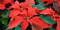 How to keep your poinsettia throughout the year?