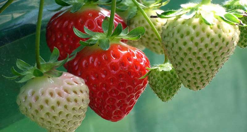 Do you know the benefits of eating strawberries?
